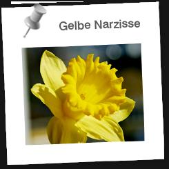 Steckbrief narzisse Botanikus: Narzisse